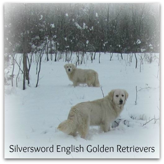 Silversword AKC registered English Golden Retriever Puppy